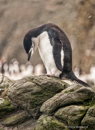 Adelie penguin in the snow in Antarctica