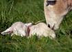 Sweet Spring Lamb