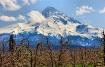 Mt. Hood & Blosso...