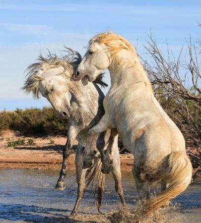 Frisky Stallions