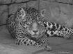Jaguar Eyes Wide