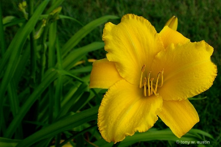 Yellow Lilly 2