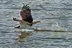 Skimming Osprey