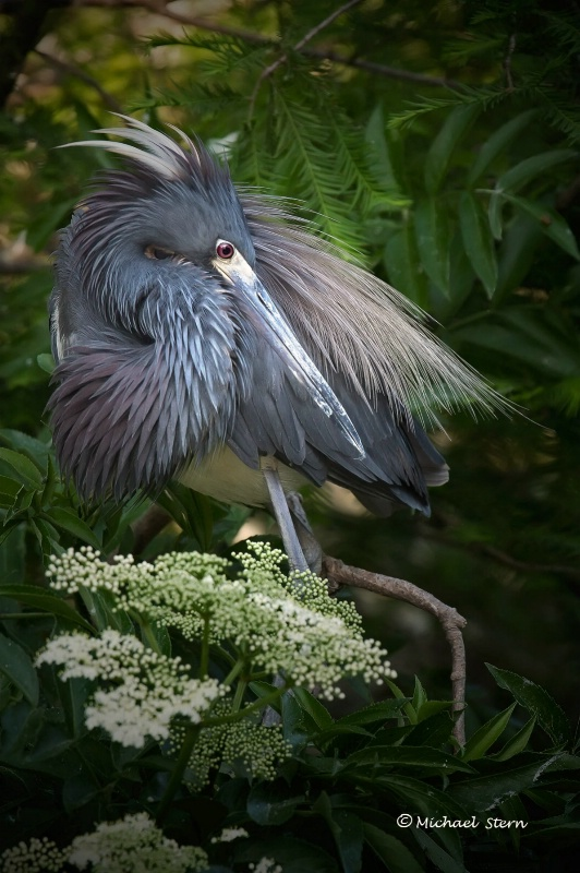 TriColor Heron with White Flowers - ID: 12978700 © Michael Stern