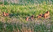 Fox Cubs At Play ...