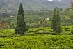 tea plantation, k...