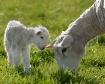 Lamb Watching Ewe