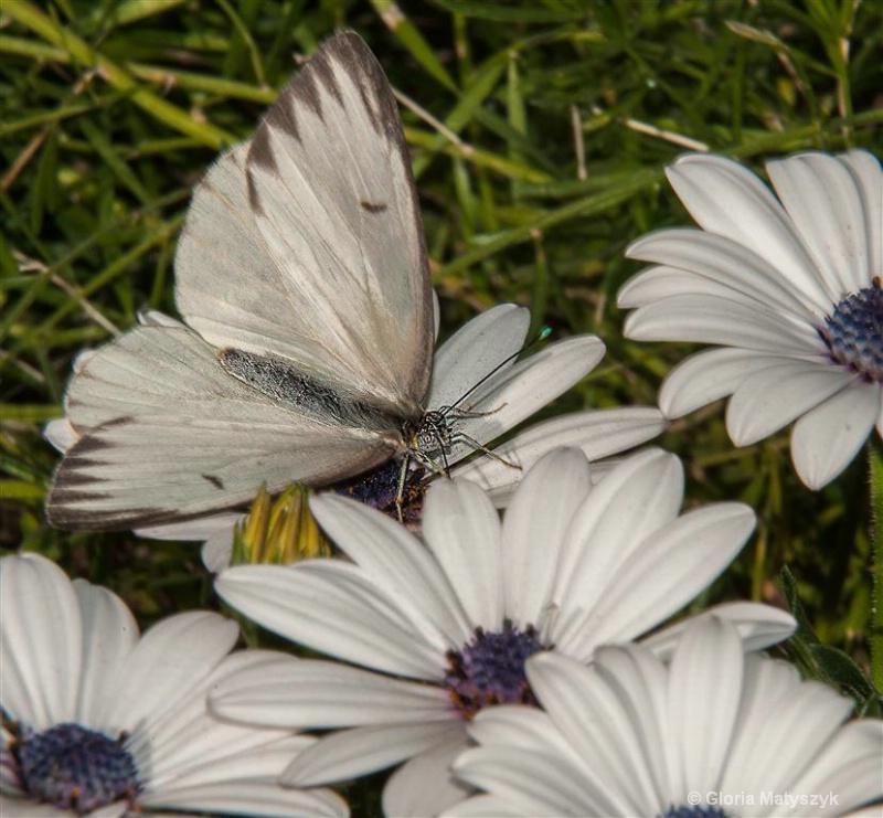 White butterfly and flowers, Phoenix, Arizona - ID: 12995763 © Gloria Matyszyk
