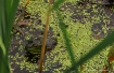 Bullfroggy