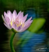Pink Water Lily i...