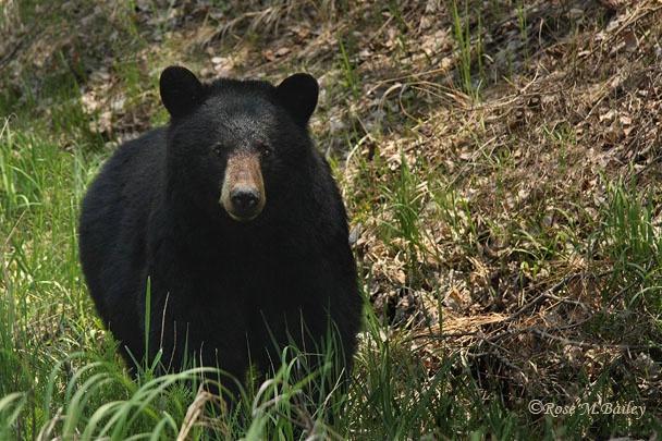 Killarney Black Bear