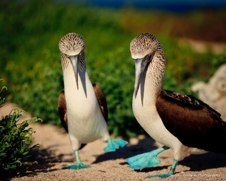 blue footed booby two step