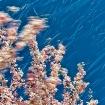 wind-swept cherry...