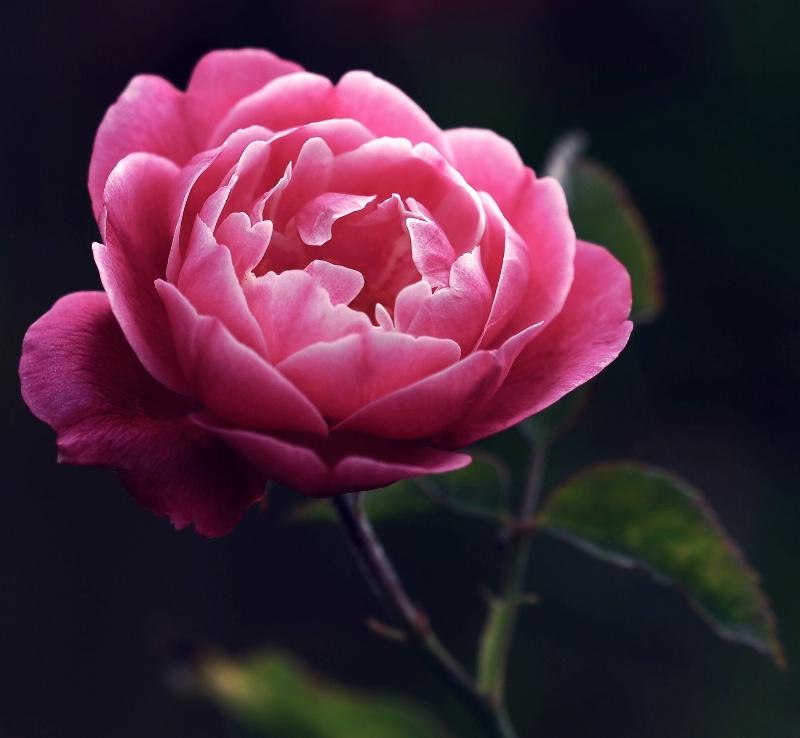 Rose In Morning Light