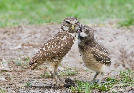 Burrowing Owls-Love Bite!