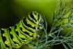 Butterfly Caterpi...