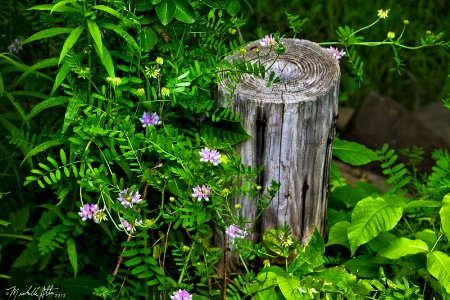 Crown Vetch and a Stump