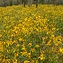 © george w. sharpton PhotoID# 13044867: Ragwort, Cedar Mt., NC