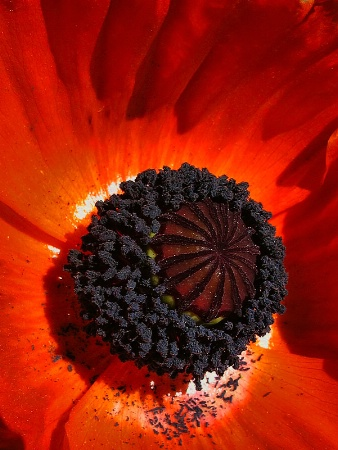 Inner Poppy