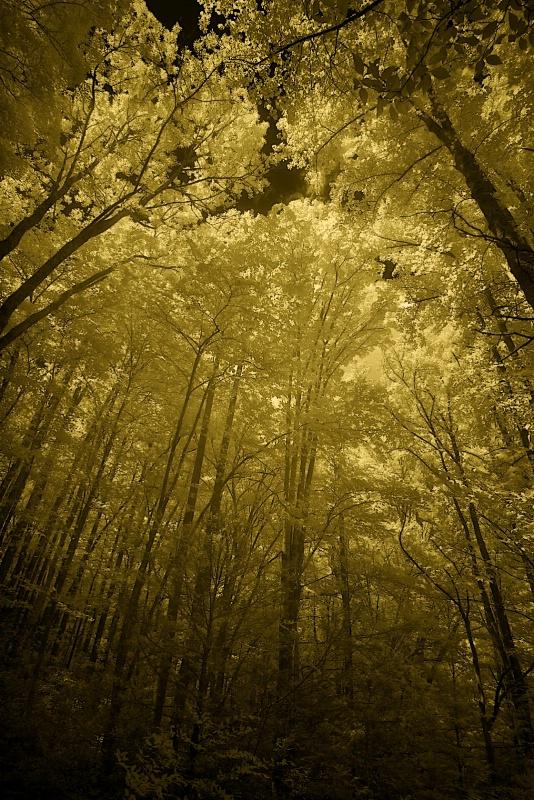 Golden Canopy