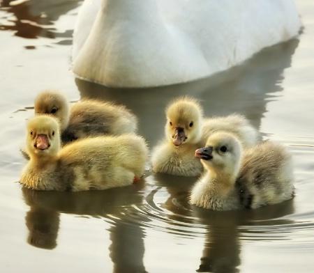 """""""The Good Little Goslings.."""""""