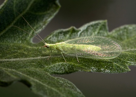 Shimmery Green Lacewing