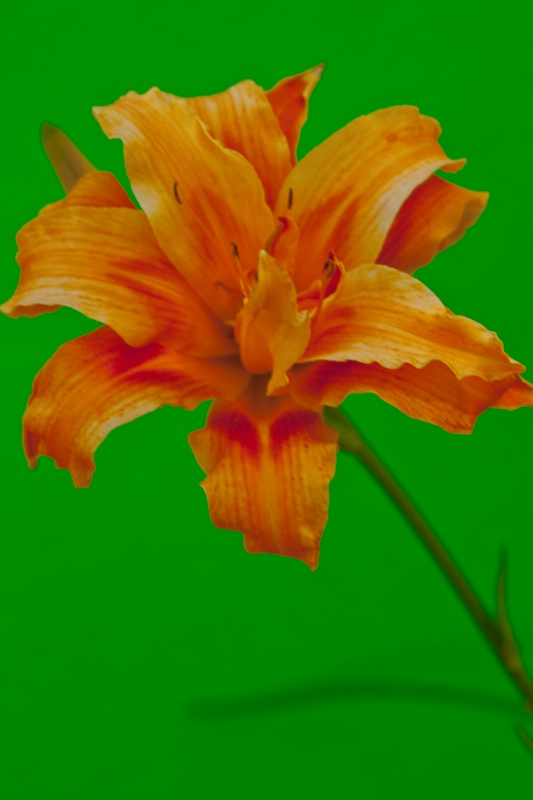 Daylily Double
