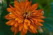 Zinnia with a dif...