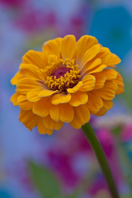 Zinnias are blooming!