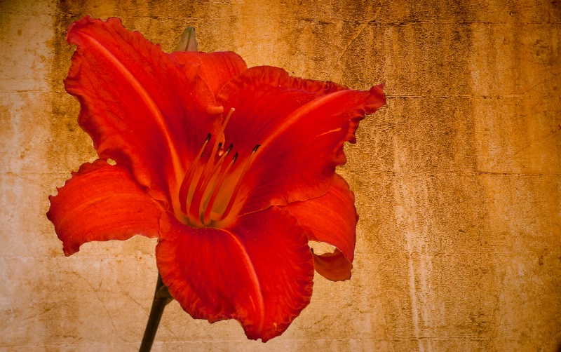 Daylily with Texture