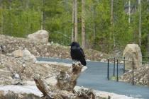 Yellowstone Raven