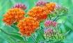 Butterfly Milkwee...