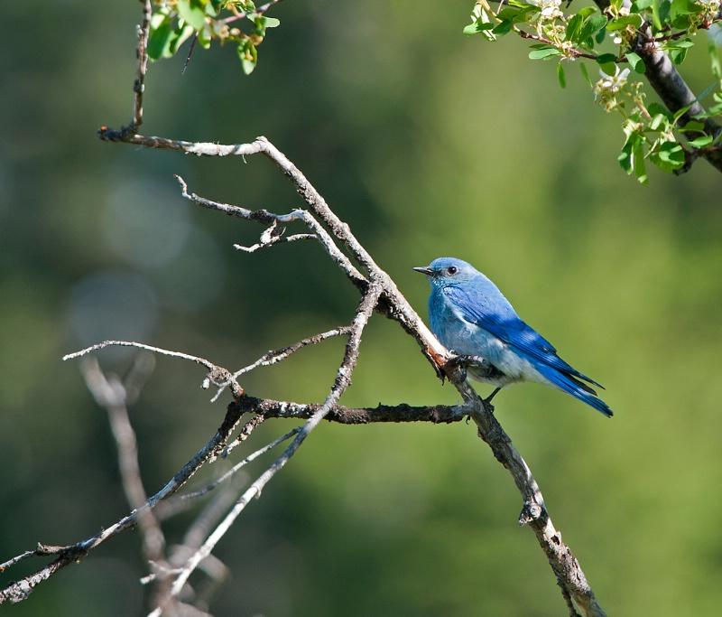 Blue Bird  - ID: 13070418 © Kelly Pape