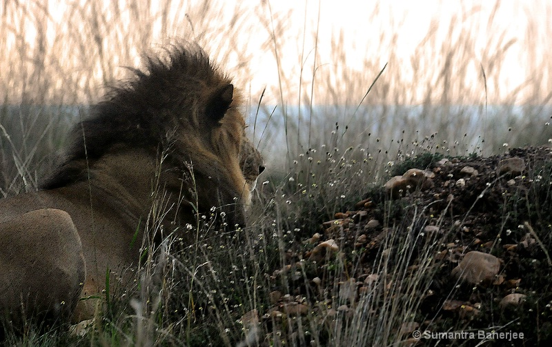 pensive lion at dusk  kenya