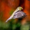 Goldfinch in Flig...