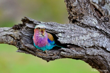Screaming Lilac-breasted roller