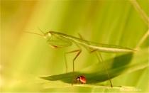Valley Forge 1 - Praying Mantis and Ladybug