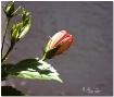 A Peach Hibiscus ...