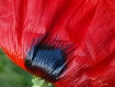 Red Hot Poppy