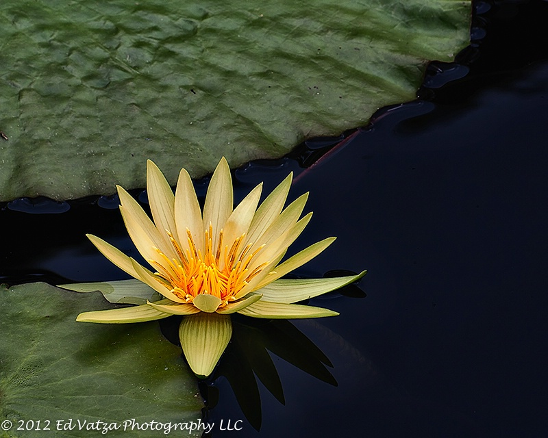 Water Lily #1