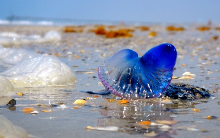Blue Jelly Fish