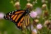 Monarch on Thistl...