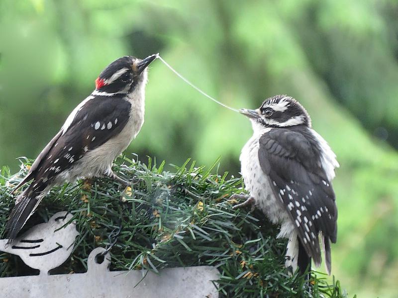 Downy Woodpecker feeding time