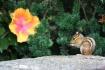 Hibiscus & Chipmu...