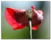Today's Poppy