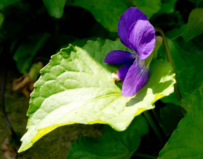 Morning violet
