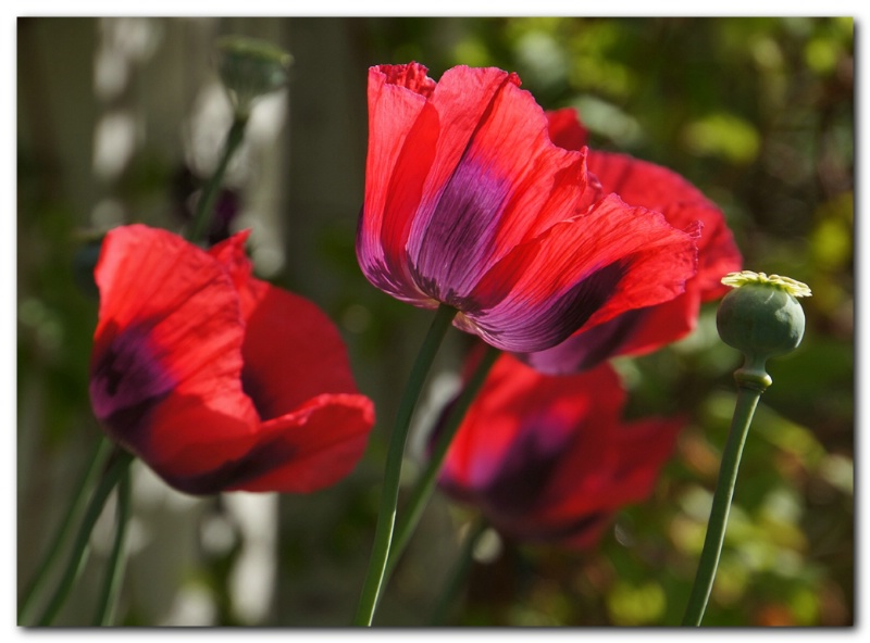 Today's Poppies