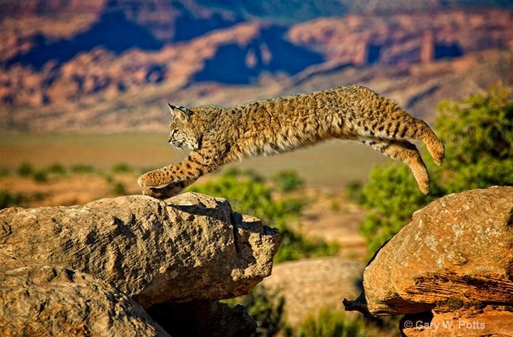 bobcat acrobatics - ID: 13112644 © Gary W. Potts
