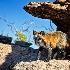 2cross fox - ID: 13112648 © Gary W. Potts