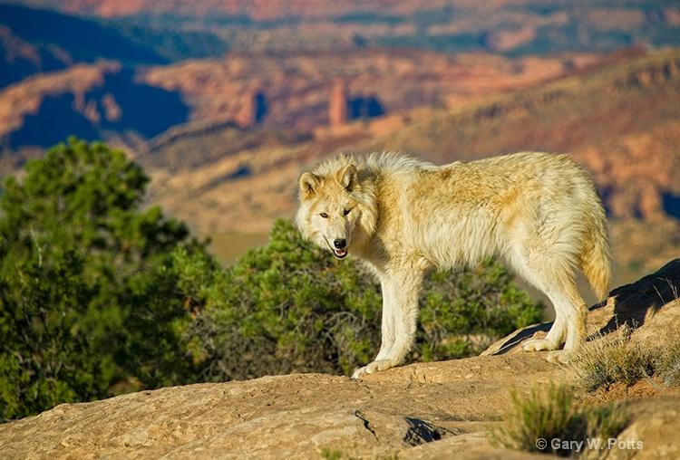 exploring wolf - ID: 13112653 © Gary W. Potts